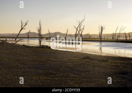 Dead trees at the swamp of Lake Argyle at sunset with clear sky as background at the outback in Australia – wallpaper - Stock Photo