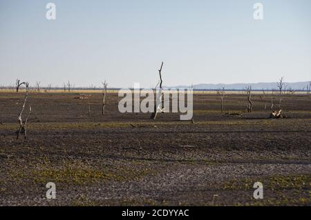 Dead trees at the wasteland of Lake Argyle at sunrise  with blue sky as background at the outback in Australia with copy space - Stock Photo
