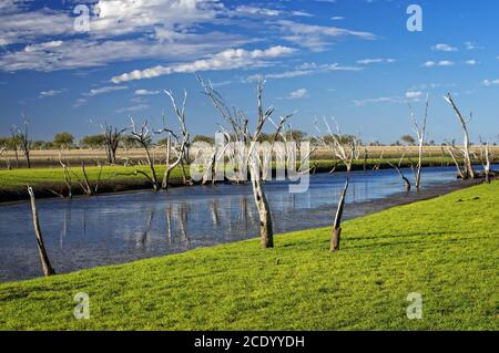Dead trees at the swamp of Lake Argyle at sunset with blue sky as background at the outback in Australia – wallpaper - Stock Photo