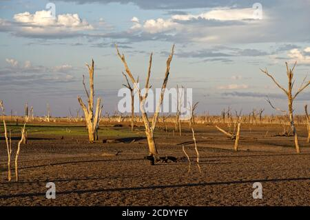 Dead trees at the wasteland of Lake Argyle at sunset with claudy sky as background at the outback in Australia with copy space - Stock Photo