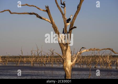 Dead trees at the swamp of Lake Argyle at twilight with a pied cormorant breeding in a nest at the outback in Western Australia - Stock Photo