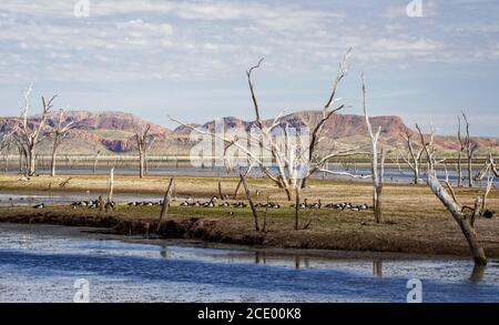 Dead trees at the swamp of Lake Argyle with a group of magpie goose and mountains in the background at the outback in Australia - Stock Photo
