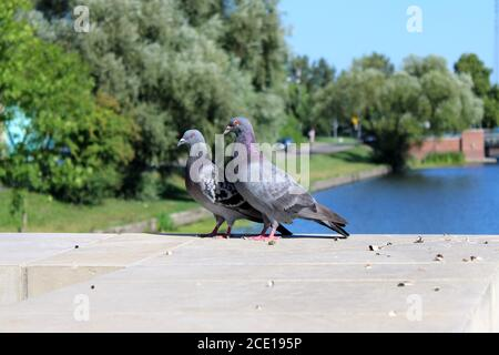 Couple of pidgeons sitting on the gray fence located near the river - Stock Photo