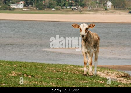 Villa Florida, Paraguay. 9th September, 2007. Lazy calf stands on a riverside along the Tebicuary River on the border of Paraguari and Misiones Department, in the Eastern Region (Region Oriental) of Paraguay. - Stock Photo