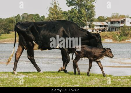 Villa Florida, Paraguay. 9th September, 2007. Black lazy cow and calf walk on a riverside along the Tebicuary River on the border of Paraguari and Misiones Department, in the Eastern Region (Region Oriental) of Paraguay. - Stock Photo