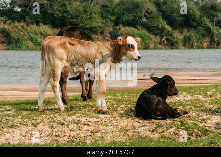 Villa Florida, Paraguay. 9th September, 2007. Lazy cow stands on a riverside along the Tebicuary River on the border of Paraguari and Misiones Department, in the Eastern Region (Region Oriental) of Paraguay. - Stock Photo