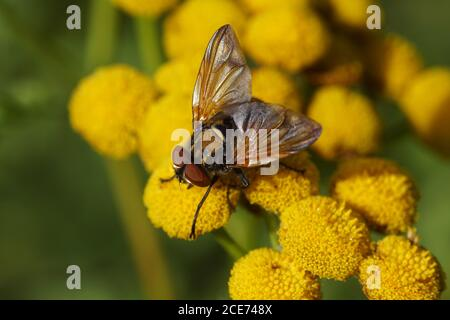 Tachinid fly, Phasia aurigera, family Tachinidae on flowers of common tansy (Tanacetum vulgare), family Asteraceae. Slovenia, September - Stock Photo