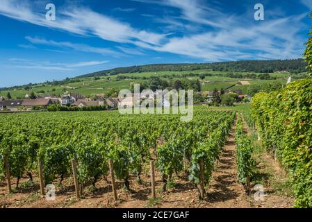 View of in the vineyard in Burgundy Bourgogne home of pinot noir and chardonnay in summer day with blue sky. Cote d'Or