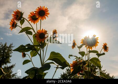 Backlit wide angle image of fully grown sunflower (Helianthus) plants in a farm. Image features multiple flowers facing away from sun while sunlight, - Stock Photo