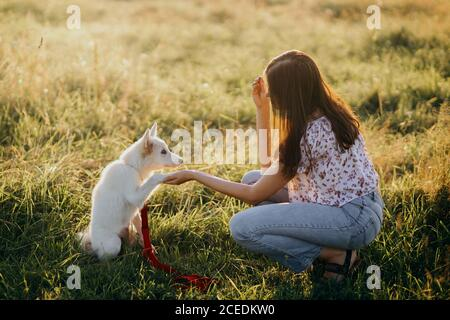 Adorable fluffy puppy giving paw to girl owner and having treat. Woman training cute white puppy to behave  in summer meadow in warm sunset light. Ado