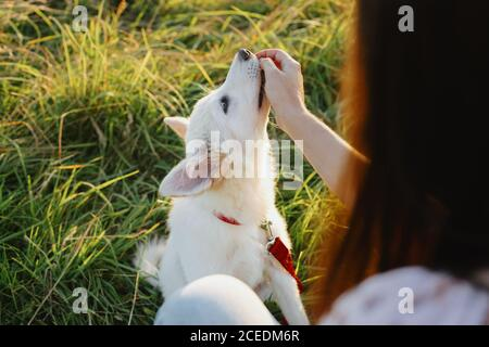 Adorable fluffy puppy having treat for giving paw to girl owner. Woman training cute white puppy to behave  in summer meadow in warm sunset light. Loy