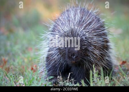 Porcupine walking through a the summer meadow in Canada