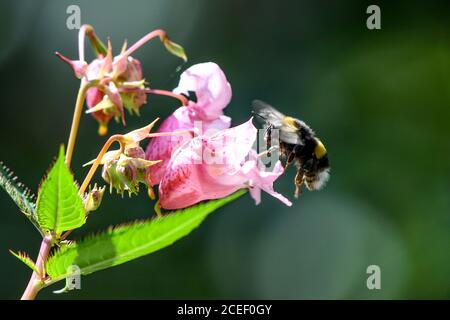 01 September 2020, Baden-Wuerttemberg, Langenargen: A bumblebee flies towards the flower of a glandular balsam (Impatiens glandulifera), which stands in a nature reserve on Lake Constance. Photo: Felix Kästle/dpa
