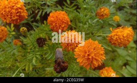 orange tagetes patula flowers or mexican flower or marigold flower family