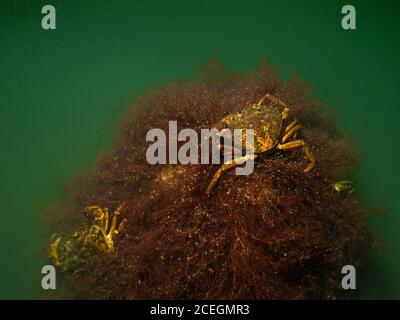 A closeup underwater picture of two crabs on a stone covered with seaweed. Picture from Oresund, Malmo in southern Sweden.