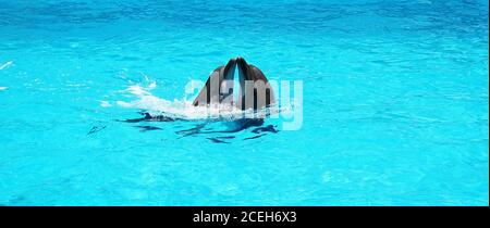 Two dolphins playing together in a clear azure pool water in the dolphinarium - Stock Photo