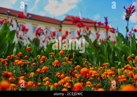 Orange African Marigold (Tagetes Erecta) in Valtice Chateau Garden during Sunny Summer Day. T