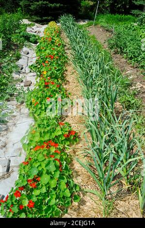 Rows of various healthy crops including garlic, nasturtiums, tomatoes and cucumbers, on a small farm in Browntown, Wisconsin, USA - Stock Photo