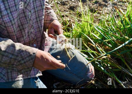 Woman farmer digging up and harvesting organic garlic bulbs, brushing off soil, in growing field at a small farm in Decorah, Iowa, USA - Stock Photo