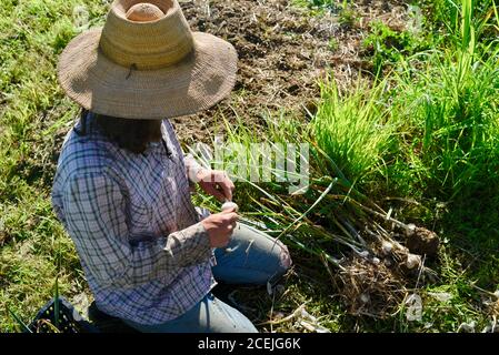 Woman farmer digging up and harvesting organic garlic bulbs, brushing off soil, in growing field at a small farm in Decorah, Iowa, USA - Stock Photo