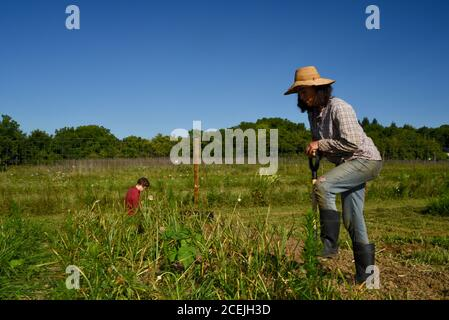 Two women farmers digging up and harvesting organic garlic bulbs in growing fields on a sunny day with blue sky, at a small farm in Decorah, Iowa, USA - Stock Photo