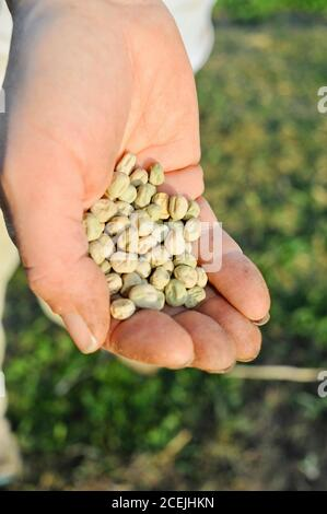 Woman farmer with many seeds in palm of hand, planting row of sugar snap peas in early spring on a small farm in Browntown, Wisconsin, USA - Stock Photo