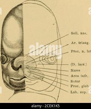 . Handbuch der Laryngologie und Rhinologie ... tsatzes an, und verschmilzt mitdenselben nach Durchbruch des Epithels zu einem gemeinsamen Bogenzwischen Mundspalte und Nasentasche, dessen Gesichtstheil zu einem Entwicklungsgeschichte der Nase und ihrer Nebenhöhlen. 63 Theile der Oberlippe, der tiefer gelegene zum vordersten Tlieile desGaumens wird und primitiver Gaumen genannt wird (Dursy1), Dannist aus dem Eingang der Xasentasche das äussere Nasenloch geworden:bei 15—16 Millimeter langen menschlichen Embryonen sind die Nasen-löcher längliche Spalten und sehen wegen Mangels einer Nasenspitzenac