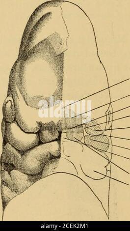 . Handbuch der Laryngologie und Rhinologie ... Basis desVorderhirna reichend zur Nasenseheidewand. Die LateralenNasenfortsätze Liefern die Nasenflügel. Da die Thrünenrinne nur ober-flächlich einschneidet, hat der lateral» Nasenfortsati gegen den ,,; 62 Dr. V. v. Mihalkovics. kieferfortsatz nur äusserlich sichtbare Grenzen, eigentlich ist derselbe einunbedeutender Anhang des Oberkieferfortsatzes, das beweist unter anderemdie gleiche Nervenversorgung (2. Ast des Trigeminus). Die Nasentascheliegt demnach zwischen einem Theile der Schädelbasis (medialen Nasen-fortsatz) und kiemenbogenähnlichen Bil