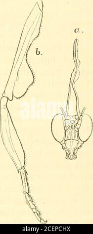 . The Annals and magazine of natural history; zoology, botany, and geology. Fiff. 2.. Fig. l.— P. ta})rofmn/p. a, head, from in front; b, intermediate leg of left side, from above, X 4.Fig. 2.—P. malaycr. o, head, from in fmut; h, intermediate leg of left side, from above, X 4. LI.—Notes on the Early Life-history of the Herring, ByErnest W. L. Holt, Marine Laboratory, St. Andrews. Professoe MIntosh having kindly placed at my disposal aseries of young herrings obtained in St. Andrews Bay duringthe last five years, I have been able to ascertain some factsas to the life-history of the herring whi - Stock Photo