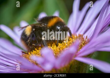 Buff-tailed bumblebee, Bombus terrestris, on Seaside Daisy, Erigeron glaucus