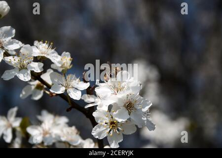 Bee collects pollen from white flowers