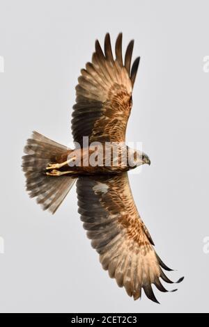 Western Marsh Harrier / Rohrweihe  ( Circus aeruginosus ), adult, male in flight, silhouette, view from bottom up, wildlife, Netherlands, Europe. Stock Photo