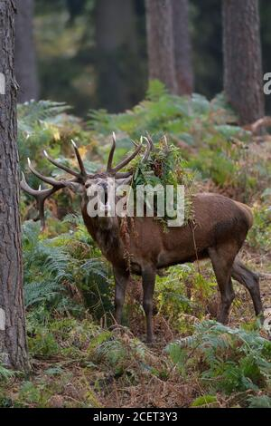 Red Deer ( Cervus elaphus ), 18-point stag bellowing in the woods during rut, antlers covered with with bracken and ferns, Europe.