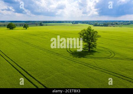 Latvian rural landscape with lonely tree in the middle of a green agricultural field on a sunny day