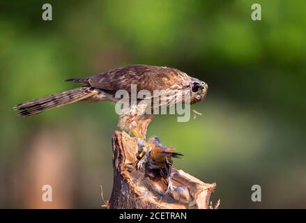 black shouldered kite, shikra, falcon, eagle, osprey , kestrel and other birds of prey in Pakistan - Stock Photo