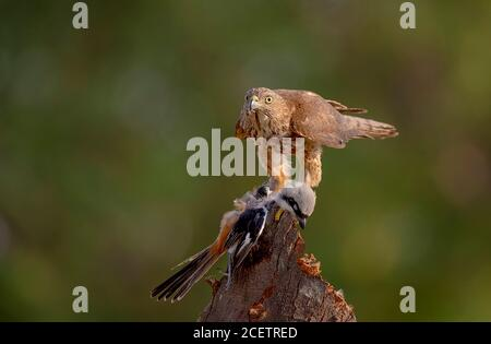 black shouldered kite, shikra, falcon, eagle, osprey , kestrel and other birds of prey in Pakistan Stock Photo