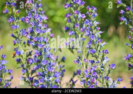 Blue melliferous flowers - Blueweed (Echium vulgare). Viper's bugloss is a medicinal plant. Macro. - Stock Photo