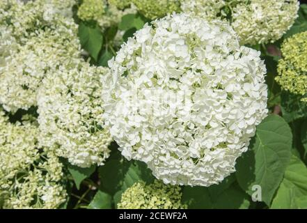 Closeup of clusters of hydrangea flowers blooming in outdoor garden during springtime - Stock Photo