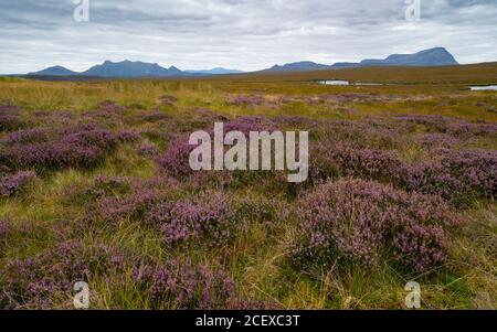 View of purple heather on blanket bog in Flow Country on the A' Mhoine Peninsula (Moine Peninsula) in Sutherland, Scotland, UK Stock Photo