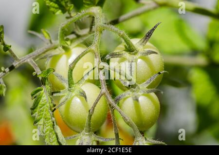Solanum lycopersicum, homegrown young green tomato plant in garden - Stock Photo