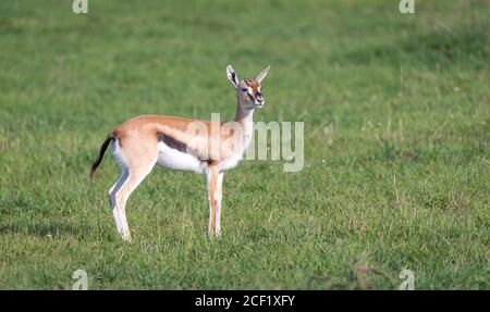 One Thomson's gazelle with her offspring in the savanna. - Stock Photo