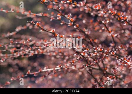 Beautiful bush branches with red leaves in sunlight. Nature background. Selective focus. - Stock Photo