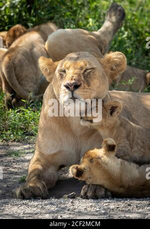 Lioness with flies on her nose and closed eyes looking after her two cubs in Ndutu Tanzania