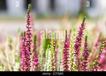 Bokeh blurry background and closeup of red purple white and pink Heather Calluna vulgaris flowers showing detail and texture in Warsaw, Poland in wint