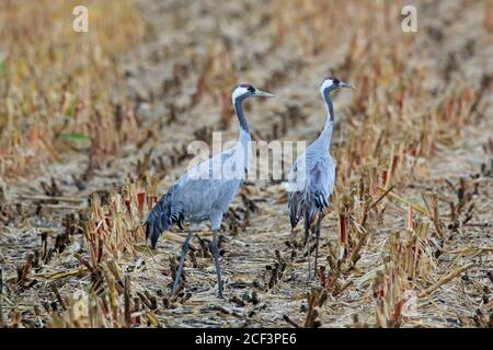 Two common cranes / Eurasian crane (Grus grus) pair foraging on stubble field in autumn / fall - Stock Photo