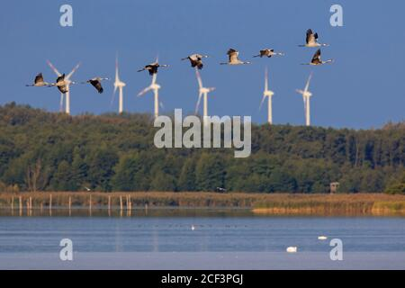 Flock of common cranes / Eurasian crane (Grus grus) group flying over lake in autumn / fall, Mecklenburg-Western Pomerania, Germany - Stock Photo