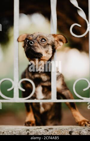 Cute curious little dog standing behind metal fence in yard and putting head between bars looking away - Stock Photo