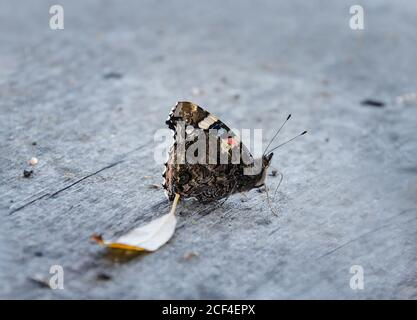 butterfly sits on a gray wooden background, autumn afternoon close-up - Stock Photo