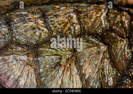 Close-up of the shell of a young Common Snapping Turtle (Chelydra serpentina). - Stock Photo