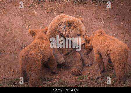 Big brown mother bear sitting and playing with bear cubs in forest - Stock Photo